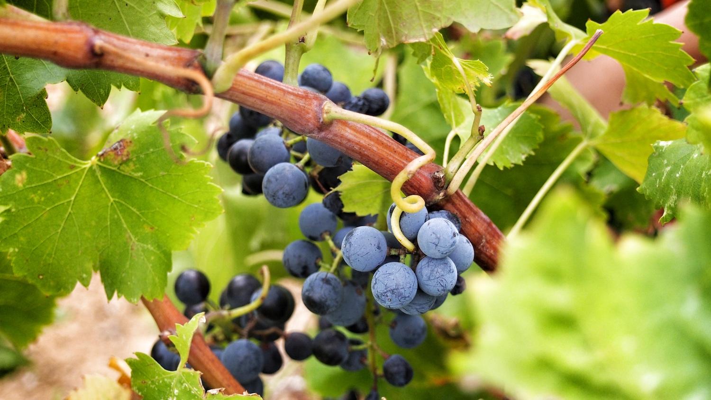 Découverte du paysage vinicole du Roussillon