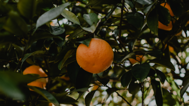 Huile essentielle de mandarine zest